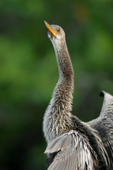 Female Anhinga stretches her long neck to inspect the photographer
