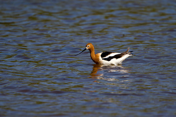 Male American Avocet in breeding plumage in California's Salton Sea