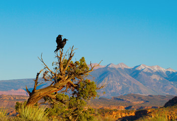 Two Common Ravens in Arches National Park in Utah