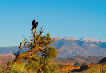 Two Common Ravens in Arches National Park in Utah at sunset
