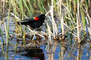 Red-winged Blackbird male sings in a Colorado marsh