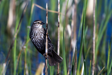 Female Red-winged Blackbird clings to a reed in a Colorado Marsh