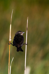 Female Red-winged Blackbird clings to two reeds in a marsh