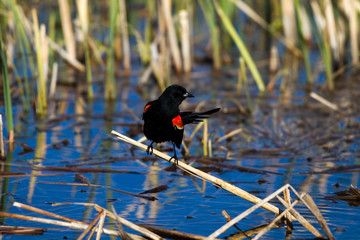 Red-winged Blackbird male over blue water in a marsh
