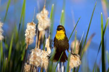Yellow-headed Blackbird male straddles two cattails in a marsh