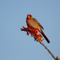 Pyrrhuloxia male on a flowering Ocotillo in the Sonoran Desert