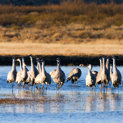 Sandhill Crane flock in winter at Bosque del Apache National Wildlife Refuge