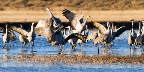 Sandhill Crane flock dances in winter at Bosque del Apache National Wildlife Refuge