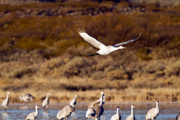 Sandhill Crane flies over others at Bosque del Apache National Wildlife Refuge