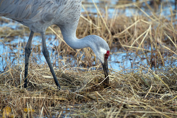 Sandhill Crane feeds at twilight in Bosque del Apache National Wildlife Refuge