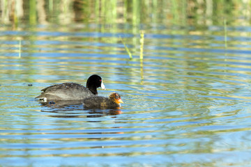 American Coot parent and chick at dawn in beautiful marsh water