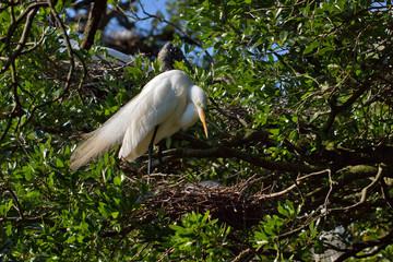 Great Egret in breeding plumage hovers over a nest in a Florida rookery