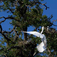 Great Egret male flies to his nest in a coastal Florida rookery