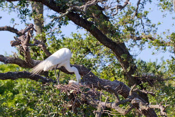Great Egret in breeding plumage tends chicks in the nest