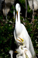 Great Egret mother guards three chicks in the nest
