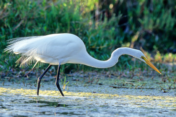 Great Egret in breeding plumage hunts in the Everglades