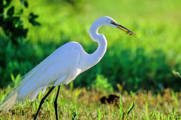 Great Egret in breeding plumage eats a lizard in the Everglades
