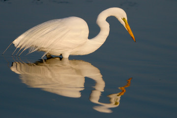 Great Egret in breeding plumage with a beautiful reflection