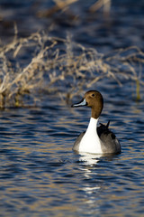 Northern Pintail drake in beautiful light and water