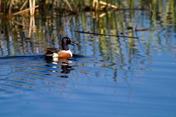 Northern Shoveler drake swims in a marsh