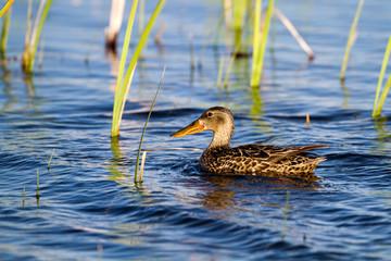 Northern Shoveler female in a Colorado marsh
