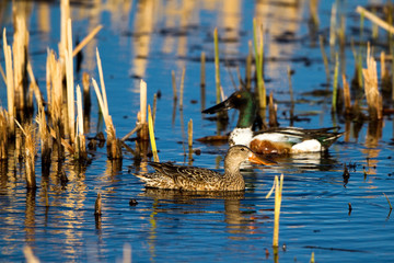 Northern Shoveler mated pair in a Colorado marsh