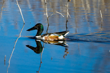 Northern Shoveler drake swims in a marsh