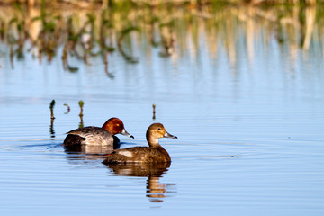 Mated Redhead Ducks in Alamosa National Wildlife Refuge in spring