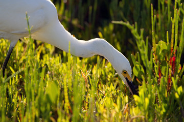 Snowy Egret feeds in a coastal Florida marsh in late afternoon