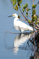 Snowy Egret under a coastal Florida mangrove, with reflections