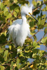 Snowy Egret in breeding plumage in a coastal mangrove swamp