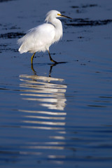 Snowy Egret with beautiful reflections in water