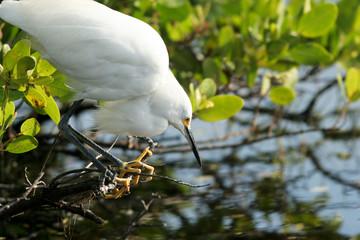 Snowy Egret waits for a fish in a coastal Florida mangrove