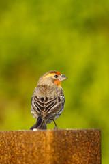 House Finch in spring breeding plumage in California