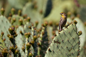 House Finch yellow variant on a prickly pear cactus in California