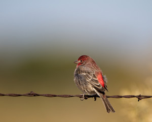 Purple Finch on a barbed-wire fence in Colorado