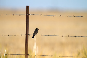 Eastern Kingbird on a barbed-wire fence in Texas