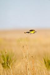 Western Kingbird in flight on the Texas prairie