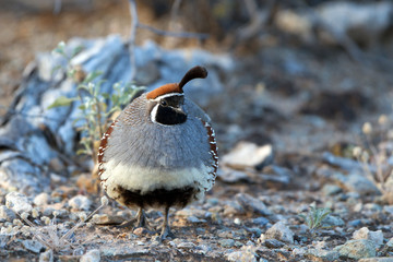 Male Gambel's Quail in breeding plumage in the Sonoran Desert  in Arizona