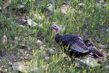 Wild Turkey on a grassy hill in Sugarite State Park in New Mexico