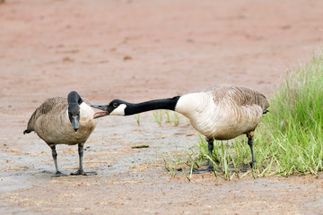Canada Goose pair in courtship