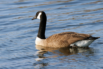 Canada Goose in beautiful water