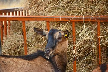 chèvre laitière