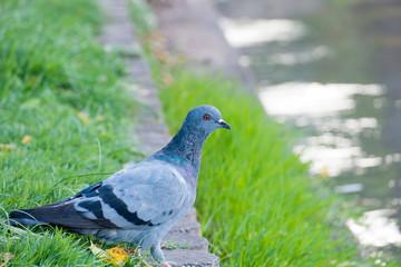 Pigeon closeup sitting near lake
