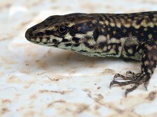 Podarcis muralis, the common wall lizard, take a sunbath on marble background.