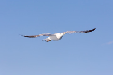 Seagull on blue background at the ocean