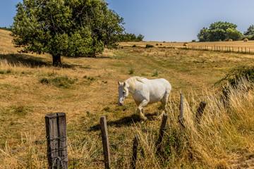 Cheval dans un champs jaunis par la sècheresse