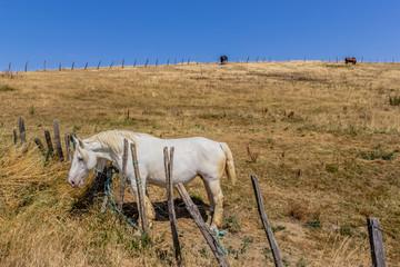 Chevaux dans un champs jaunis par la sècheresse