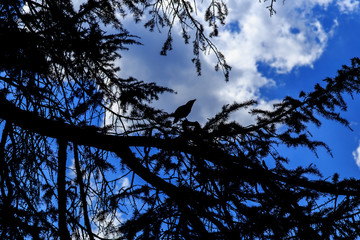 Silhouette crow against blue sky