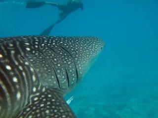 photo requin baleine en snorkeling